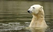 Controversy Surrounds Viral Polar Bear Video: Was It Climate Change?