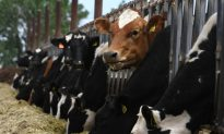 Understanding the Whole Cost of Cheap Milk