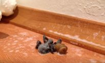 What Happens To This Seemingly Normal Spider Is Bizarre
