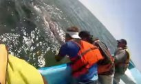 Video: Whale Lifts Calf From the Water