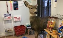 Mother Deer Wanders Aisles of Colorado Gift Shop