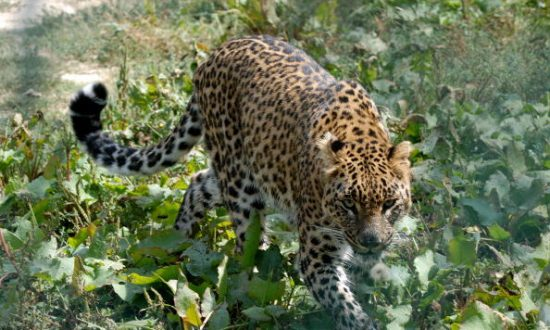 Caught on Camera: 60-Year-Old Man Fights Off a Wild Leopard