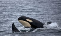 Killer Whales Can Imitate Human Speech, Study Finds