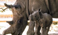 The World's Last Male Northern White Rhino Is Dying, Sparking Fears of Species Extinction