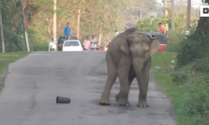 They come across elephant blocking traffic—but once they get closer, taken aback by what he's kicking