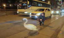 Runaway Swan Rescue Raises Question of How Best to Help Stranded Wild Animals