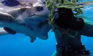 Divers on the boat spot turtle in distress, the heroic rescue gets captured on video