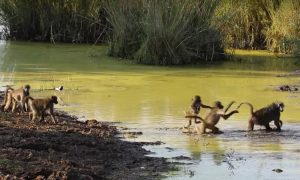 Baboons try to cross a river. But the different methods they use—it's hilariously unconventional