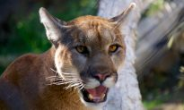 Cougar Kills US Mountain Biker, Mauls Another, Later Shot