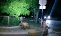 Bear on a Wine Walk