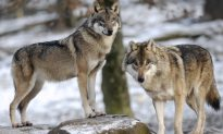 Lone Wolf Emerges From Toxic Chernobyl Disaster Zone